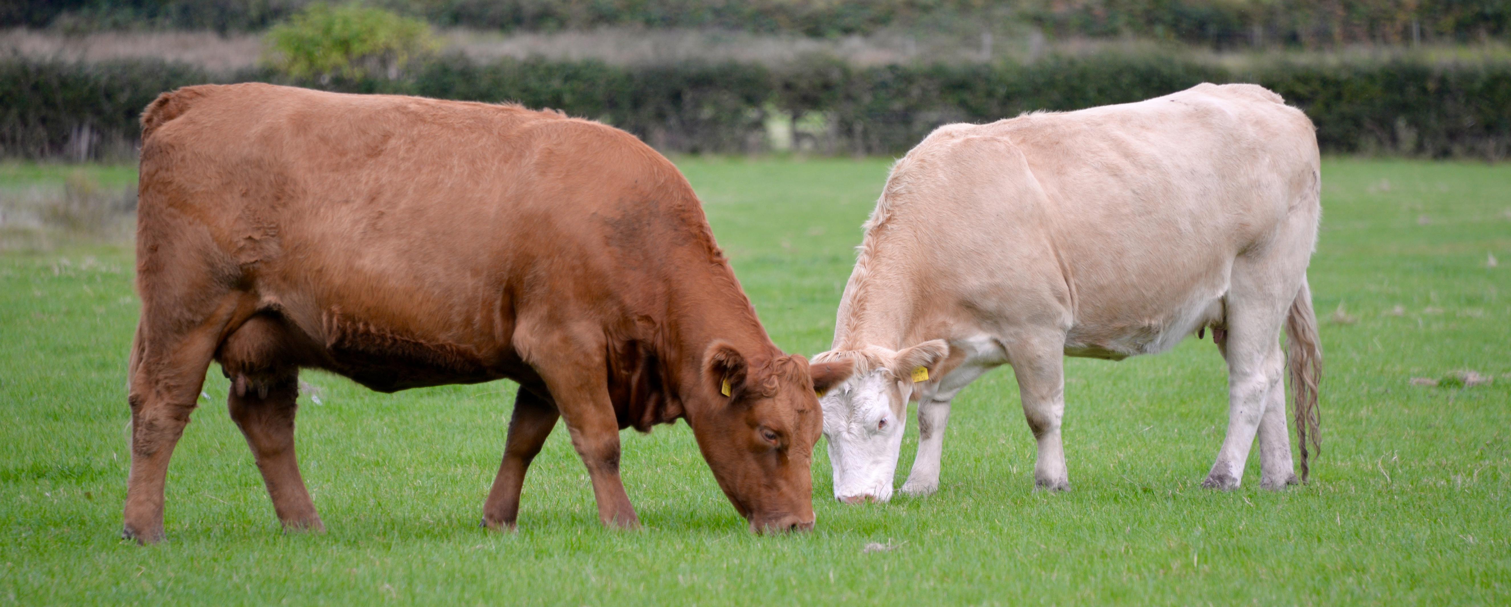 2-cows-nick-s
