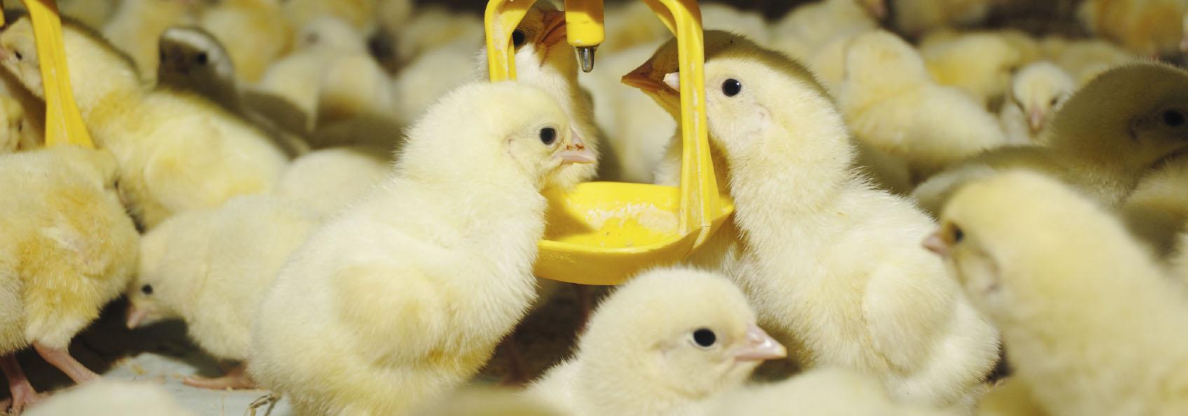 Image-4-Chicks