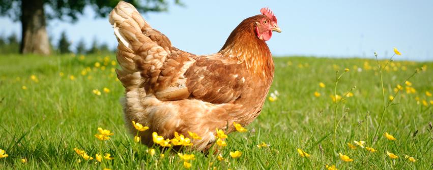 Image-6-FR-Chicken