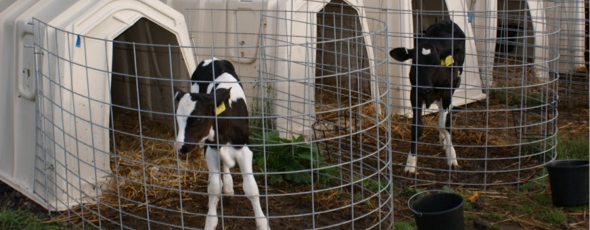 Calves-in-rearing-system-copy